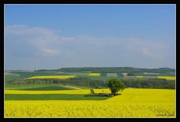 colza landscape.jpg