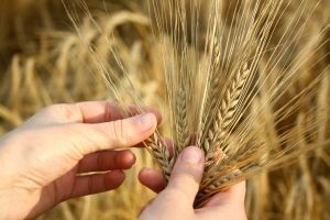 1024277_wheat_in_the_hands.jpg